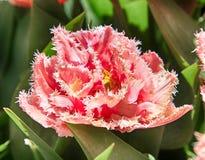 Frotté satt fransar på rosa tulpan Royaltyfria Foton