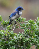 Frottez Jay Image stock
