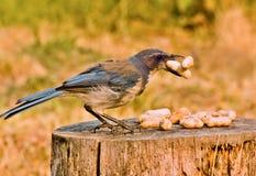 Frottez Jay avec des arachides Image libre de droits