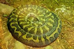 Frottez le kinghorni de Morelia de python image stock