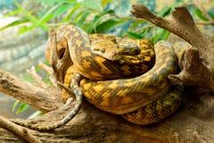 Frottez le kinghorni de Morelia de python photo stock