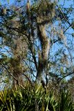 Frottez le Palmetto et les arbres avec de la mousse espagnole Photo libre de droits