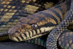 Frottez le python Photographie stock libre de droits