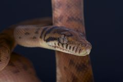 Frottez le python/amethistina de Morelia photographie stock