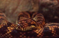 Frottez le python connu sous le nom d'amethistina de Morelia Images stock