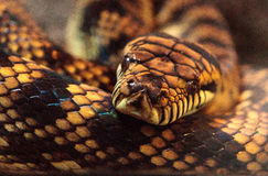 Frottez le python connu sous le nom d'amethistina de Morelia Images libres de droits