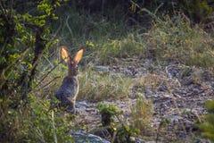 Frottez les lièvres en parc national de Kruger, Afrique du Sud image stock