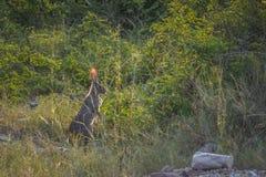 Frottez les lièvres en parc national de Kruger, Afrique du Sud photographie stock
