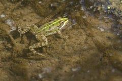 Frow-Schwimmen in einem Teich Lizenzfreies Stockfoto