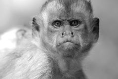 Frowning monkey face Stock Image