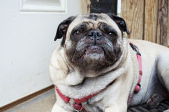 Frowning Pug Stock Image