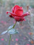 Froxen Rot Rose Stockfoto