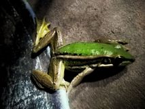 Froze the frog family Has a beautiful green color. Froze frog family has beautiful green color royalty free stock image