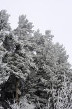 Frozeen-Bäume der Kiefer mit Staub Stockfotos