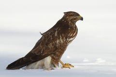 Frozen. Common buzzard enjoying a meal of mouse Royalty Free Stock Photos