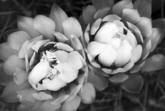 Frozen. An other way to see two splendid cactus flowers (Gymnocalycium sp stock photos