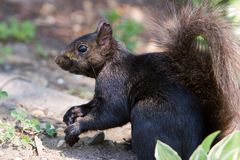 Frozen. Close-up of a black squirrel Stock Image