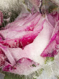 Frozen abstraction with beautiful delicate rose Royalty Free Stock Images