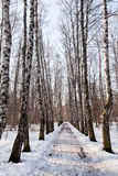 Frozen alley in birch forest Stock Images