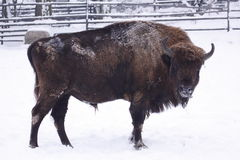 Frozen american bison Stock Photo