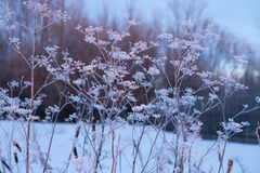Frozen angelica. In the cold winter stock photo