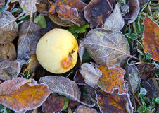 Frozen apple on fallen leaves Royalty Free Stock Photos