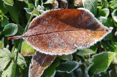 Frozen apple leaf Royalty Free Stock Photography