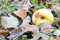 Frozen apple on meadow Royalty Free Stock Images