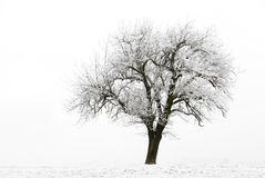 Frozen apple tree. Single apple tree on a frozen meadow, with white sky in the background royalty free stock photo