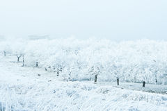 Frozen apple trees in orchard Royalty Free Stock Photo