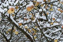 Frozen apples stock images