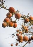 Frozen apples Stock Image