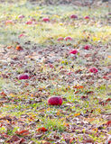 Frozen apples in an apple orchard on early sunny december morinig Royalty Free Stock Photos
