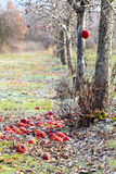 Frozen apples in an apple orchard on early sunny december morinig Stock Image