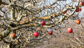 Frozen apples in an apple orchard on early sunny december morinig Stock Photography