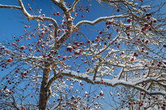Frozen Apples Royalty Free Stock Photos