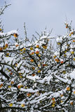 Frozen apples stock photo