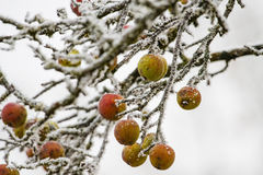Frozen apples on a tree Stock Image