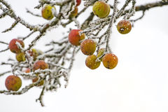 Frozen apples on a tree Royalty Free Stock Photography