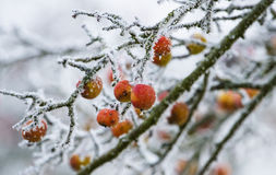 Frozen apples on a tree Royalty Free Stock Photo