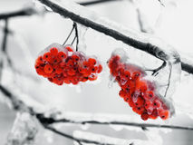 Frozen ash Royalty Free Stock Photography