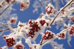 Frozen ashberry Stock Photos