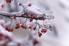 Frozen ashberry Royalty Free Stock Photos