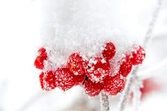 A frozen ashberry Stock Photo
