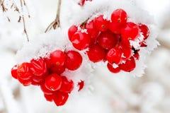 A frozen ashberry Stock Photos