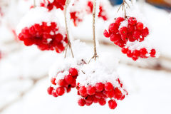 A frozen ashberry Royalty Free Stock Photo