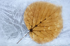 Frozen  aspen leaf Royalty Free Stock Photos