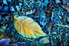 Frozen aspen leaf. Abstract background Royalty Free Stock Photography