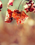 Frozen Autumn Frost Cold Morning Ice Maple Leaves. Frozen Autumn Leaves On The Branch Royalty Free Stock Photo