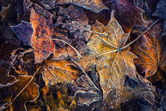 Frozen autumn frost cold morning ice maple leaves. Macro stock images